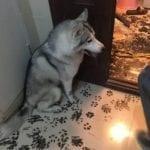 Собака заскучала одна дома