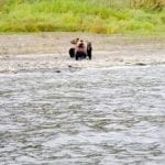 Редкие кадры прощания медведицы с медвежатами